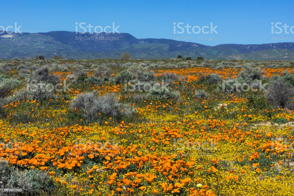 California Poppies and Sagebrush in Lancaster Valley stock photo