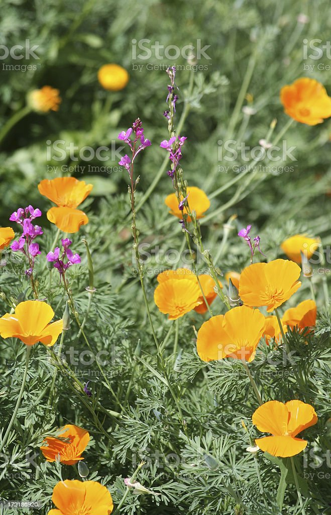 California Poppies and Wildflowers royalty-free stock photo