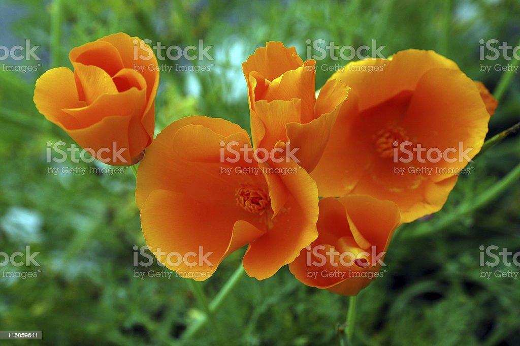 California poppies, Eschscholzia californica, orange flowers stock photo