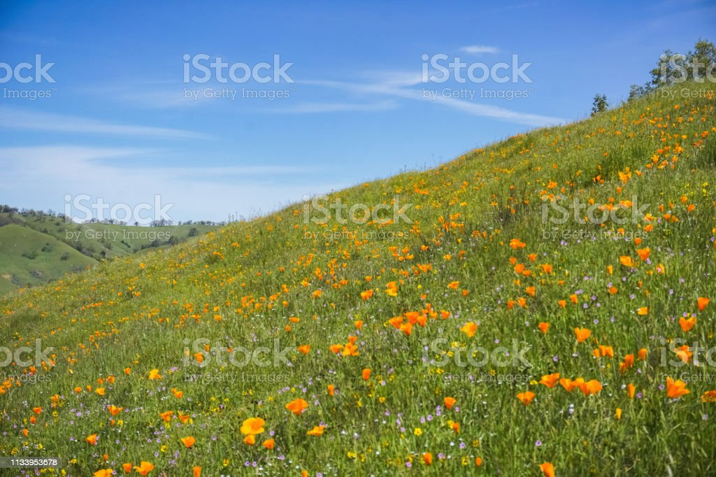 California Poppies Field San Francisco Bay Area California Stock