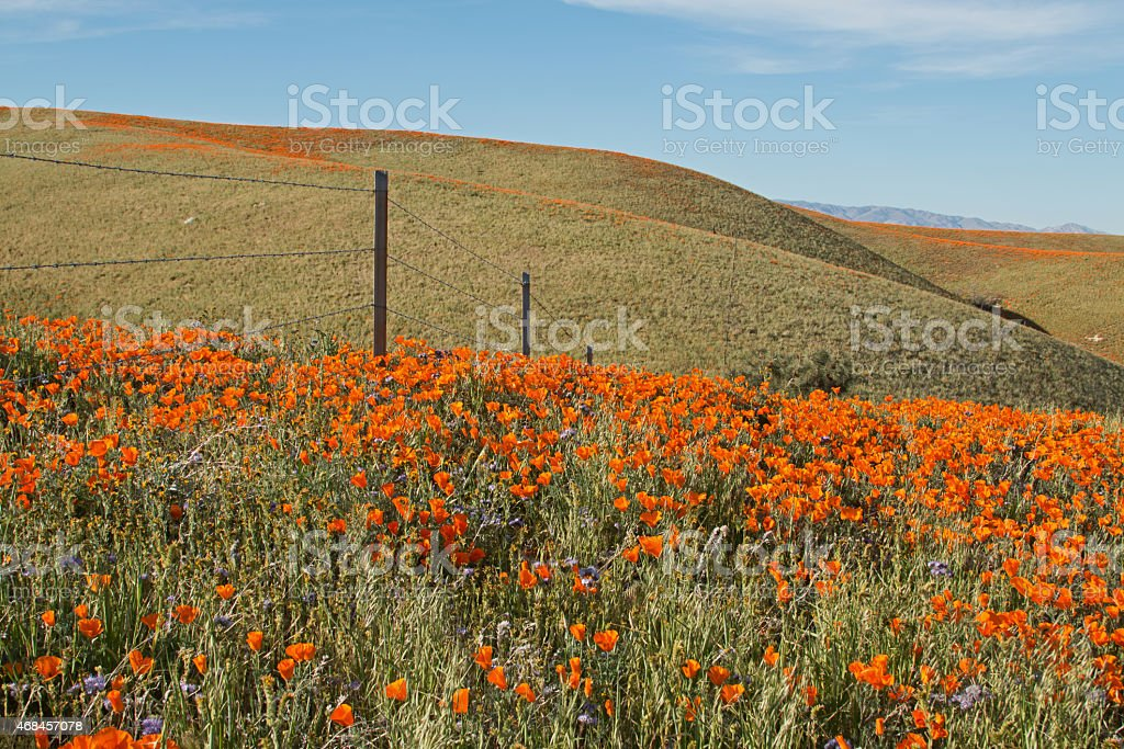 California Poppies in Spring by barbed wire fence stock photo