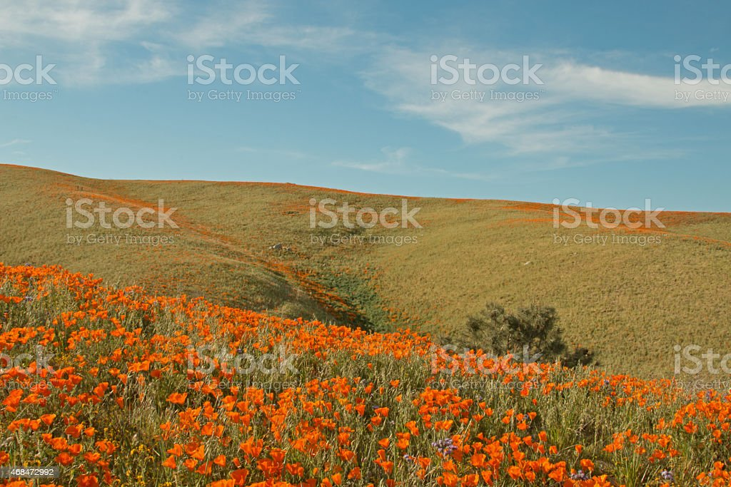 California Poppies in the springtime stock photo