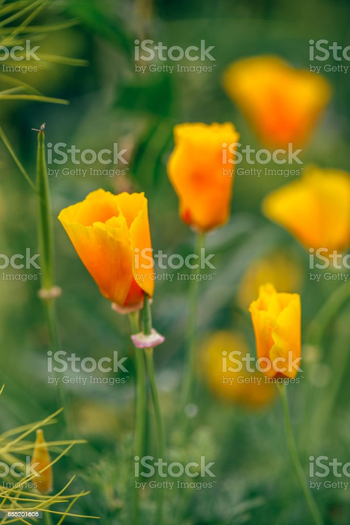 California Poppies on a Meadow. stock photo