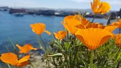 Orange flowers called California Poppies in the foreground, with the ocean near Monterey in the background.