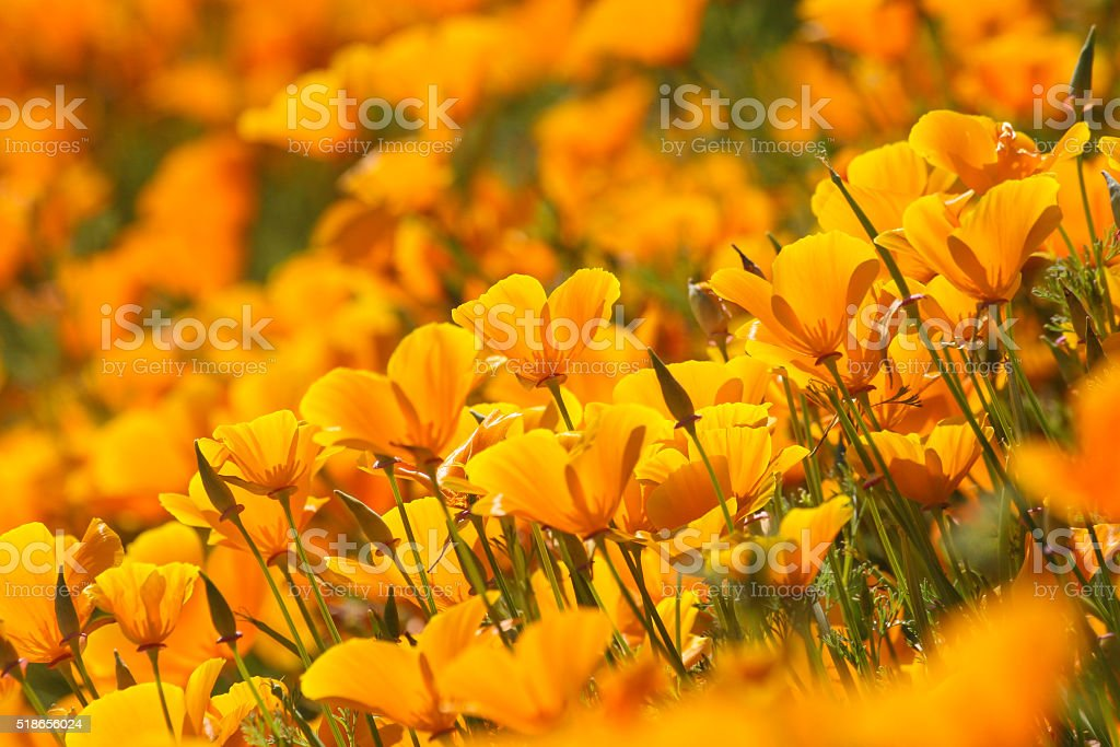 California poppies, orange stock photo