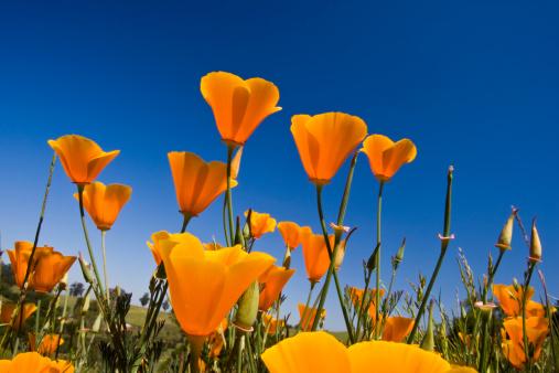 California poppy (Eschscholzia californica), isolated on white
