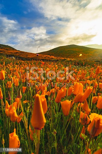 california poppies in the walker canyon poppy fields