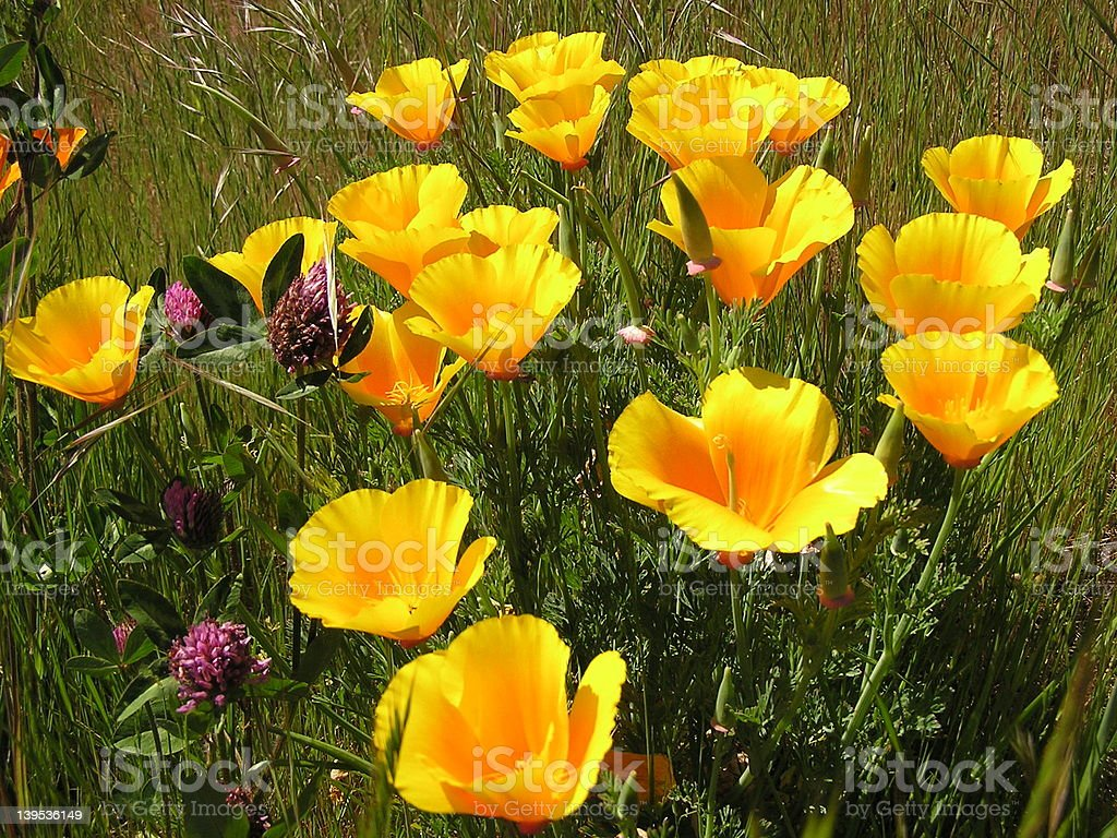 California Poppies royalty-free stock photo