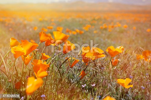 Poppies at Antelope Valley.