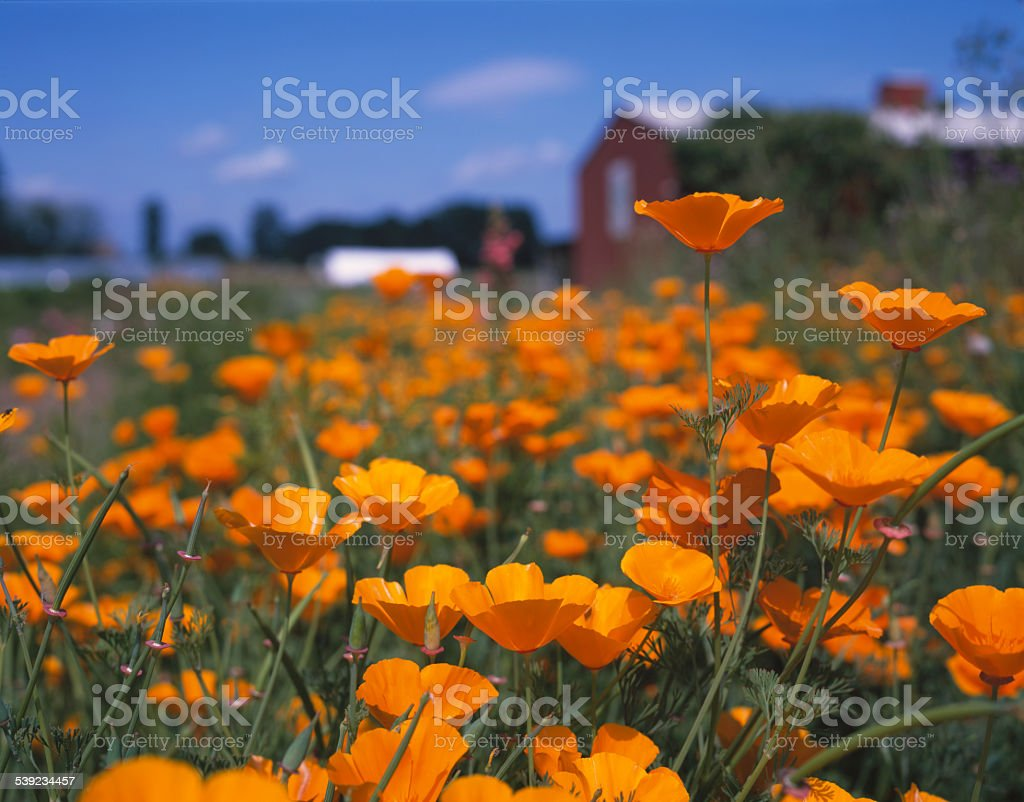 California Poppies selective focus, barn, field, springtime stock photo