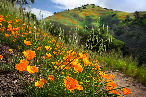 California Poppy Bloom On Grass Mountain Trail, Santa Barbara County Flashes of golden orange California poppies in bloom along the Grass Mountain Trail into Los Padres National Forest. Near the peak of the April bloom in 2016, with many flowers seen going to seed with their elongated green seed pods in the foreground. The Grass Mountain peak looms in the background with patches of orange poppy blooms against the green grasses of the exposed slope. santa barbara california stock pictures, royalty-free photos & images