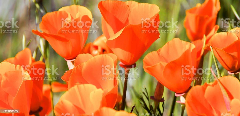 California Poppy Bloom stock photo