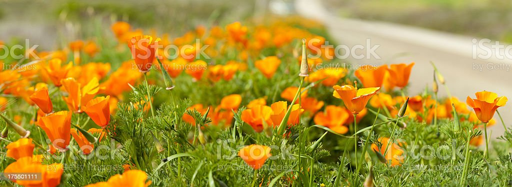 California Poppy Close-up along Highway, Panoramic Image. stock photo