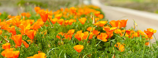 California Poppy Close-up along Highway, Panoramic Image. stock photo