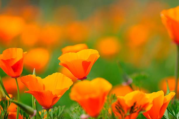 California Poppy Close-up. stock photo