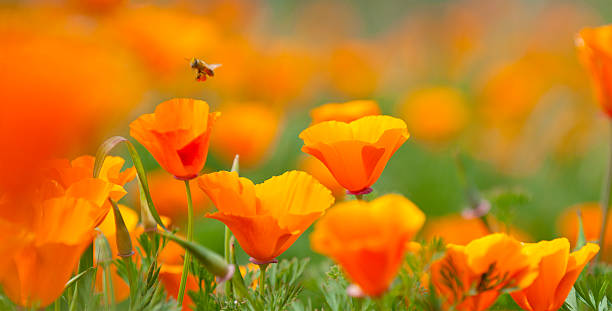 California Poppy Close-up with pollinating bee, Panoramic Image. stock photo