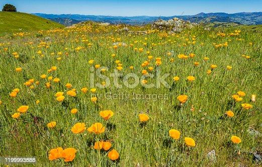 California poppy, Eschscholzia californica, Pepperwood Preserve; Santa Rosa;  Sonoma County, California
