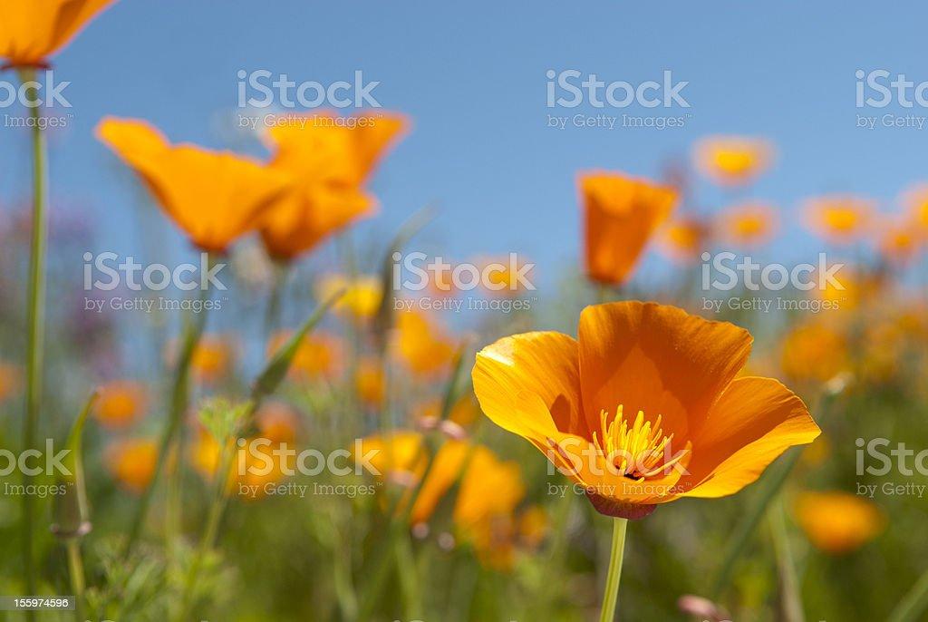 California Poppy Field stock photo