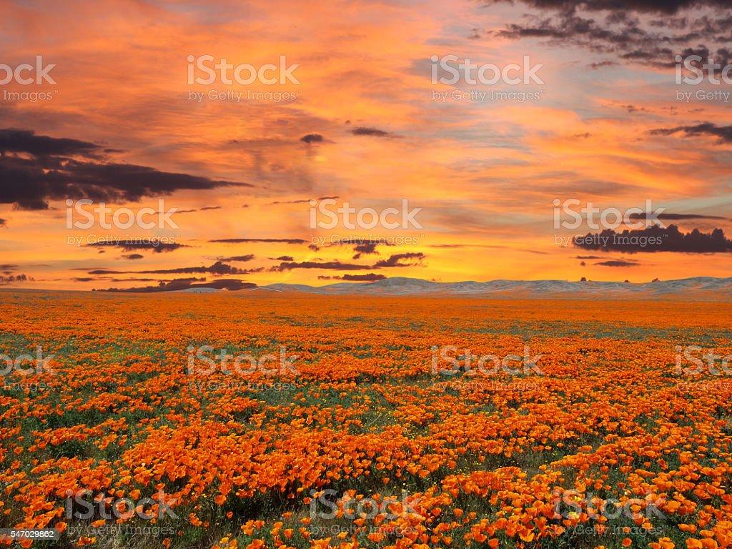 California Poppy Field With Sunrise Sky stock photo