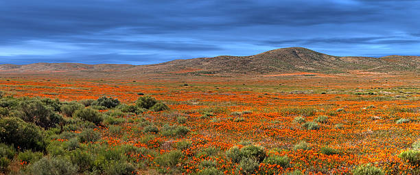 California Poppy Fields stock photo