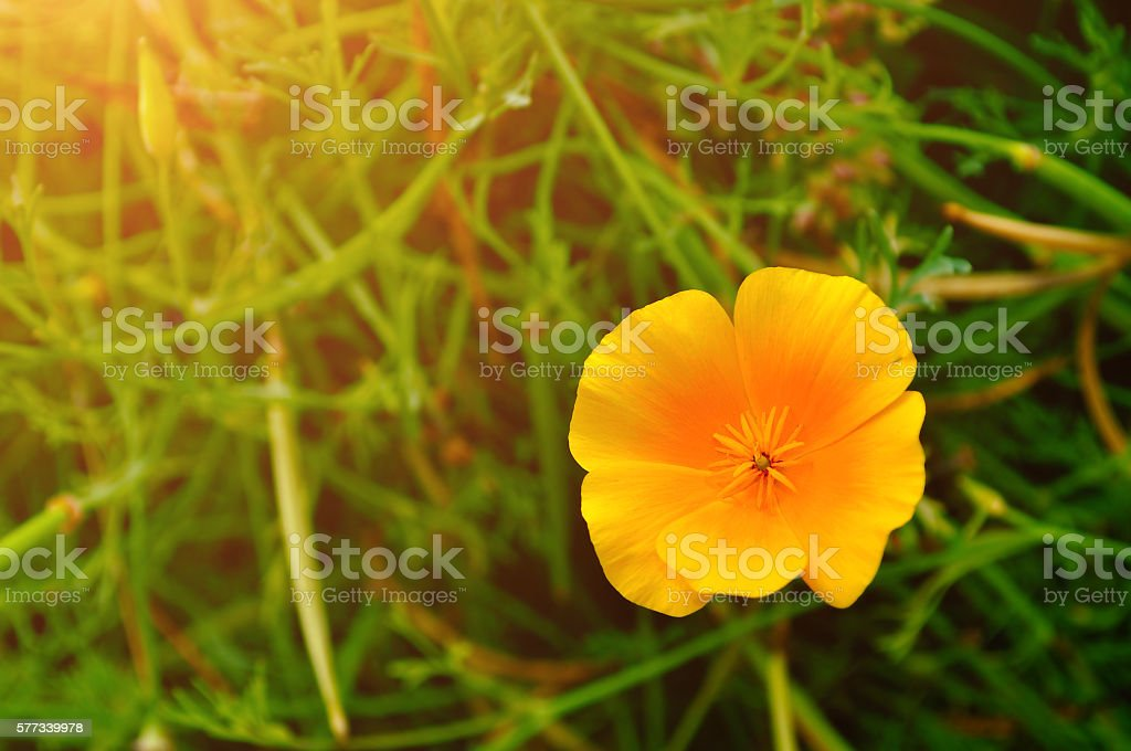 California Poppy Flower In Latin Eschscholzia Californica Stock