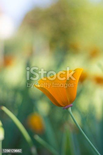 California poppy flower (Eschscholzia californica) on a green background