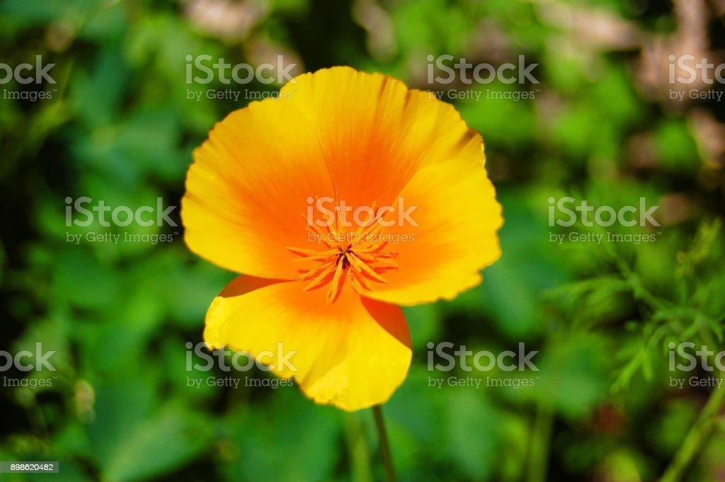 California poppy flower stock photo