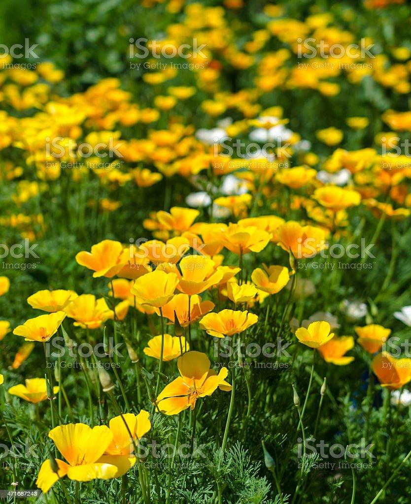 California poppy flowers (Eschscholzia californica) royalty-free stock photo