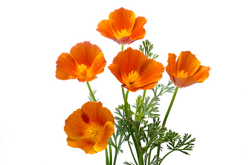 California poppy (Eschscholzia californica), isolated on white