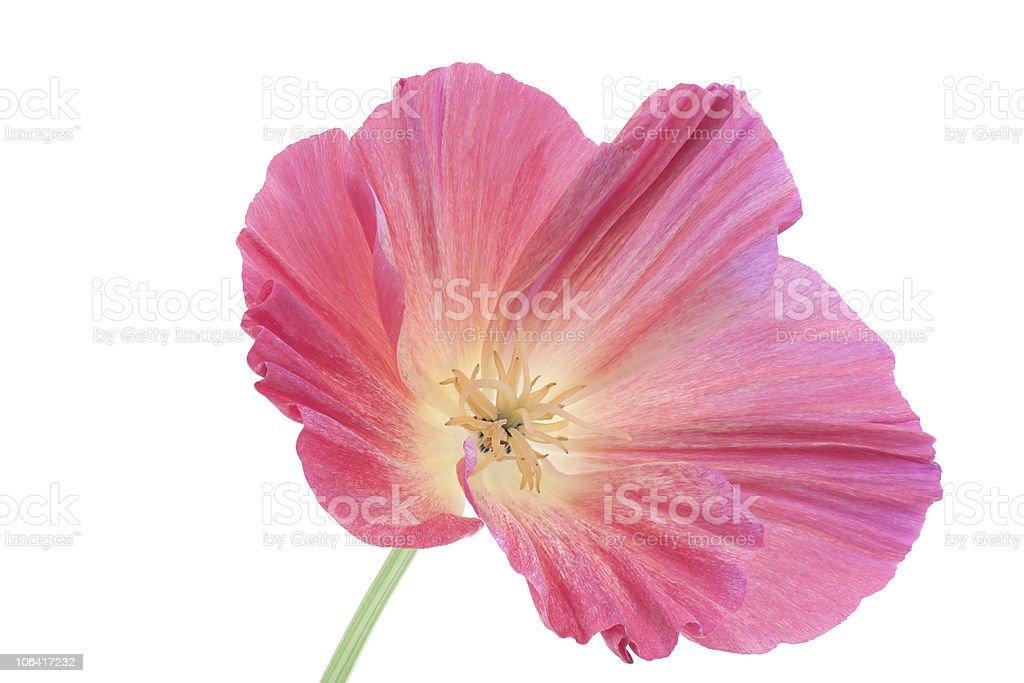california poppy royalty-free stock photo