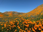 Joshua Tree National Park, California Wildflower Super Bloom