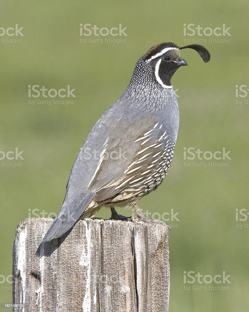 california quail stock photo