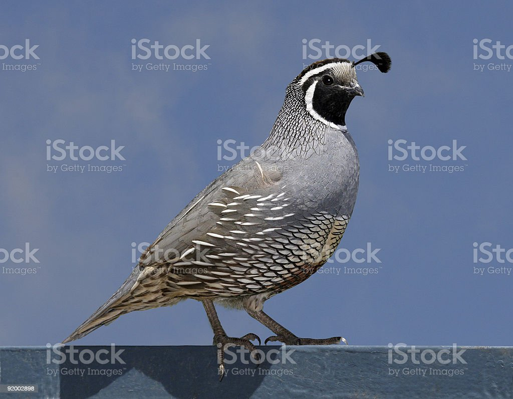 A California quail sitting on a ledge stock photo