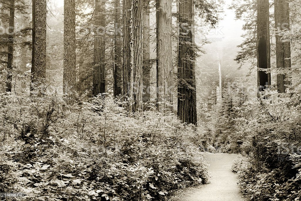 California redwoods royalty-free stock photo