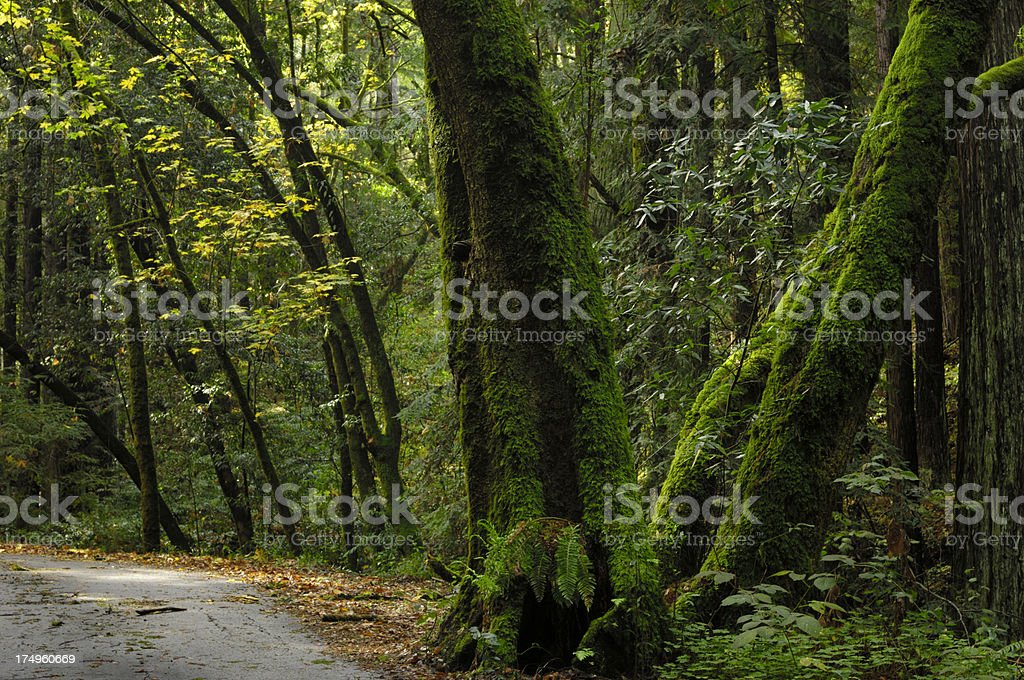 California Road Passing Through Coastal Forest royalty-free stock photo
