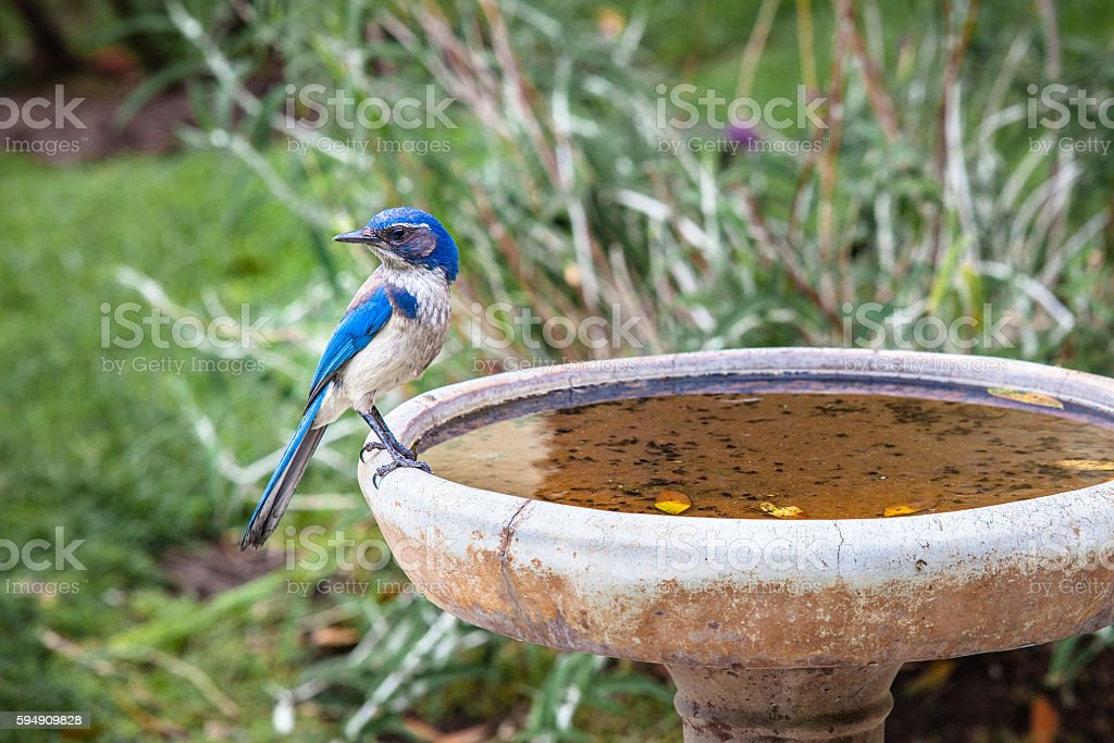 California Scrub Jay (Aphelocoma californica) Perched On A Bird Bath stock photo