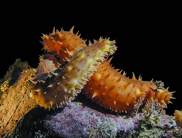 California Sea Cucumber Love stock photo