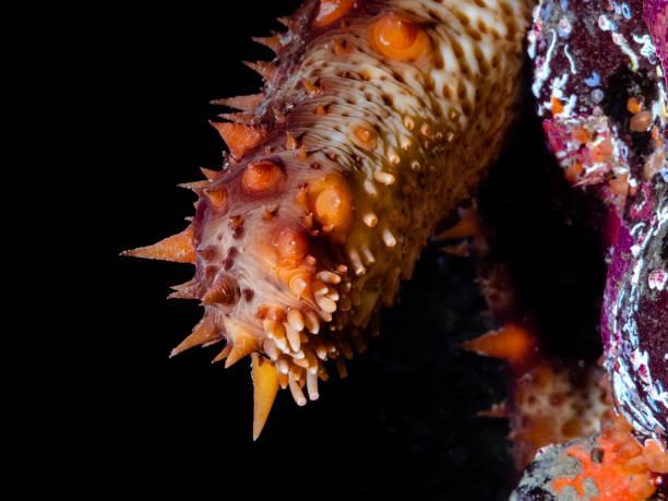 california sea cucumber (apostichopus californicus) - naturediver stock pictures, royalty-free photos & images