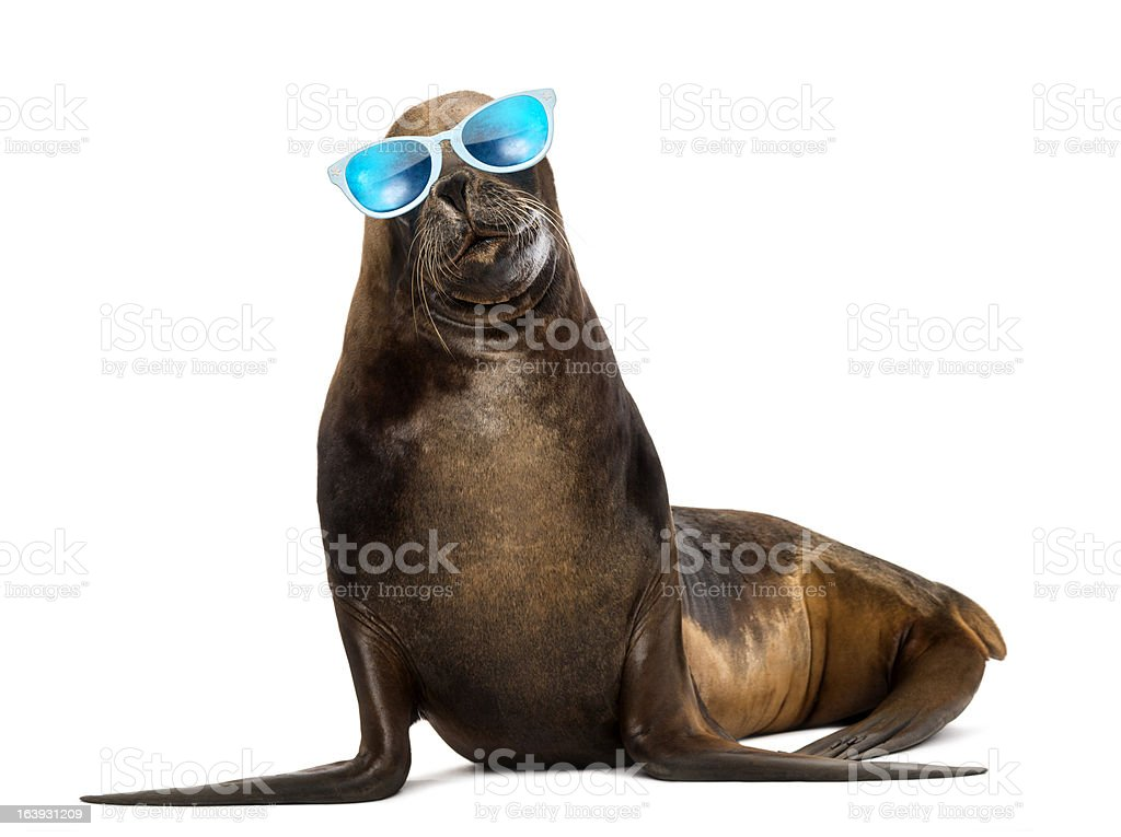 California Sea Lion, 17 years old, wearing sunglasses stock photo