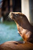 California Sea Lion (Zalophus californianus) at Pier 39 in San Francisco