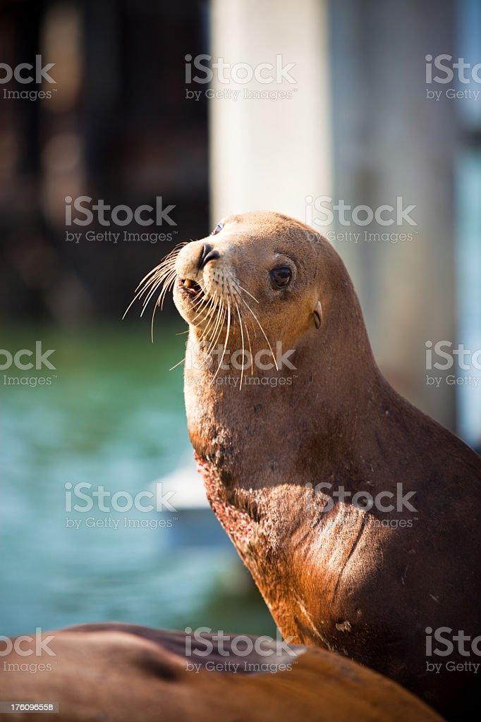 California Sea Lion (Zalophus californianus) at Pier 39 royalty-free stock photo