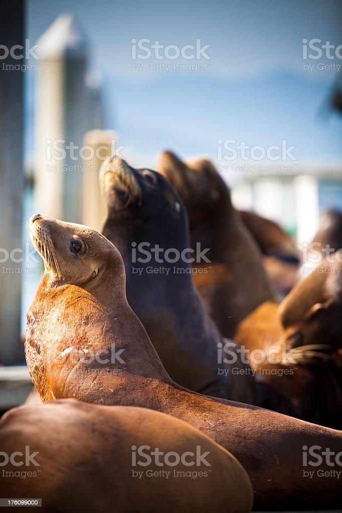 California Sea Lion (Zalophus californianus) at Pier 39 stock photo