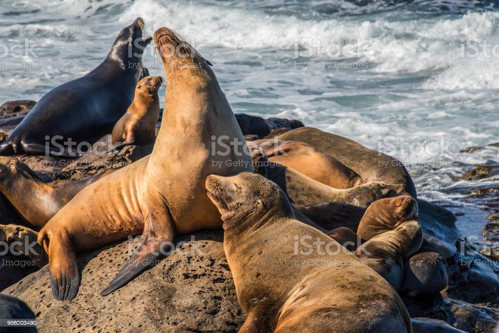 Familia De Leones Marinos De California - Fotografía de stock y más ...