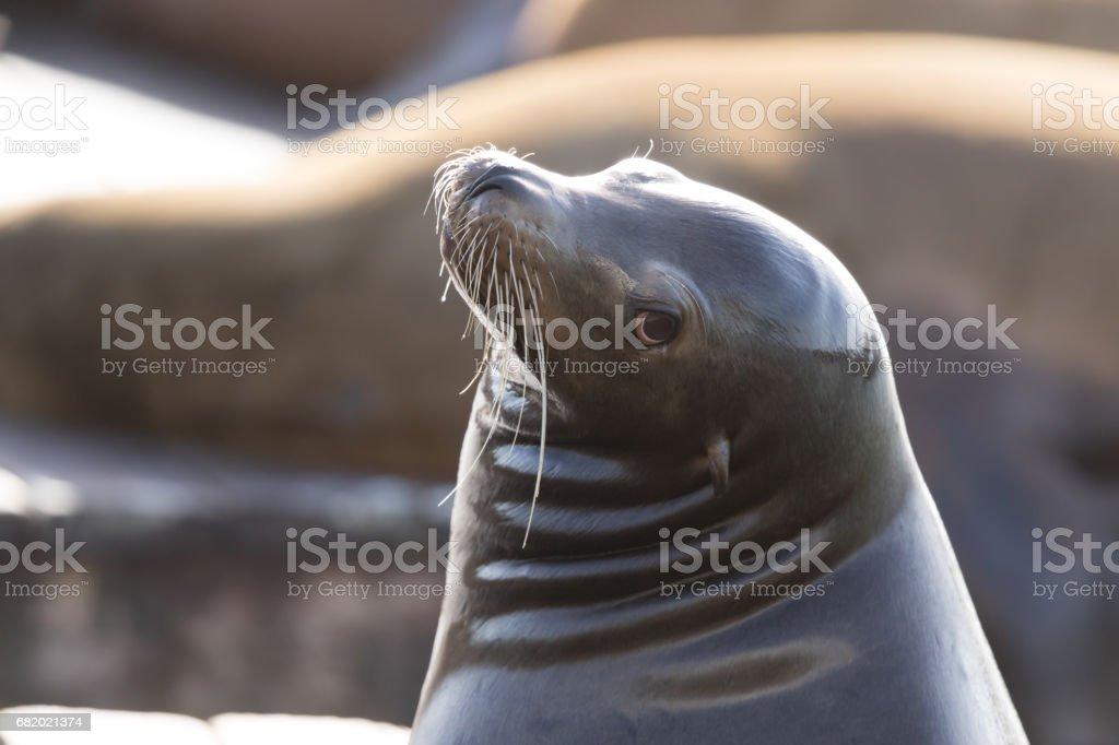 California Sea Lion (Zalophus californianus) Headshot stock photo
