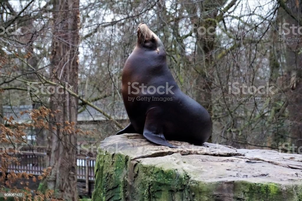 California sea lion looking cute while chilling on rock stock photo