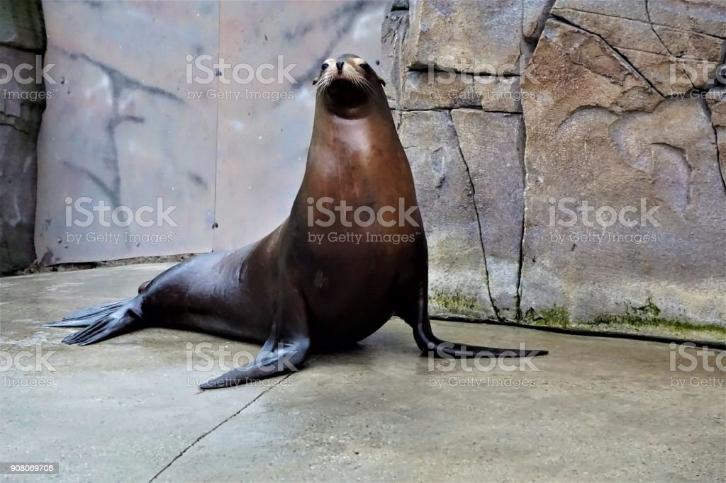 California sea lion looking in the camera stock photo