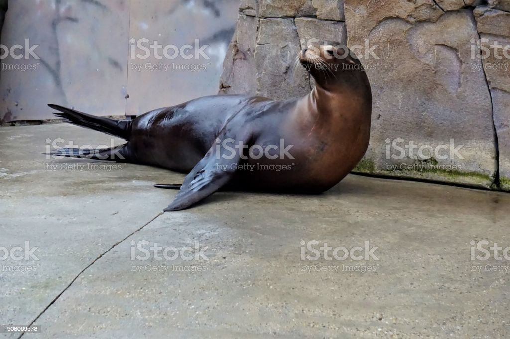 California sea lion lying on the side stock photo