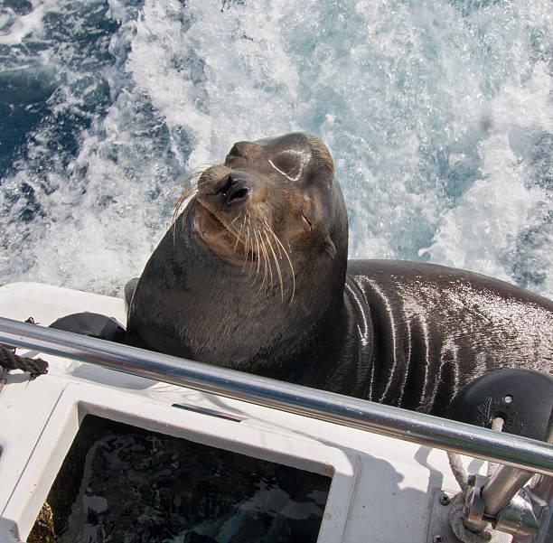 California Sea Lion on fishing boat in Cabo San Lucas stock photo