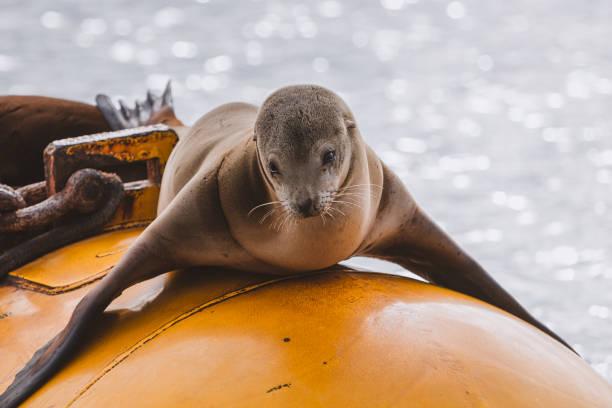 California Sea Lion on yellow buoy stock photo