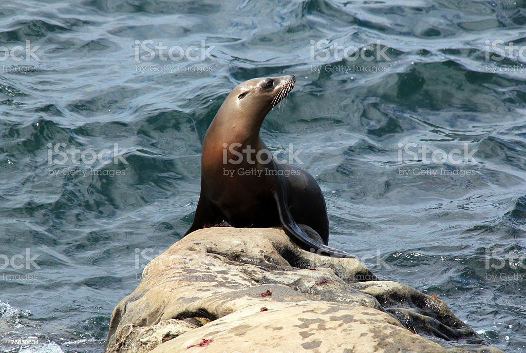 California Sea Lion bildbanksfoto